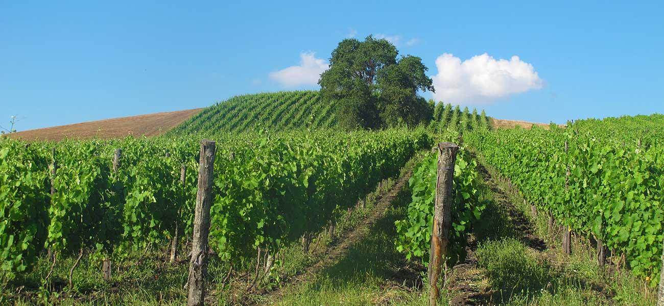 Le vigne de Il Tufiello in Alta Irpinia