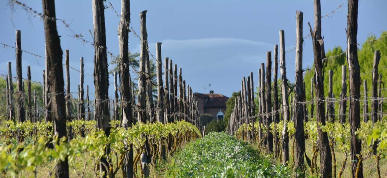 Vineyard in Cascina Grillo - Piedmont