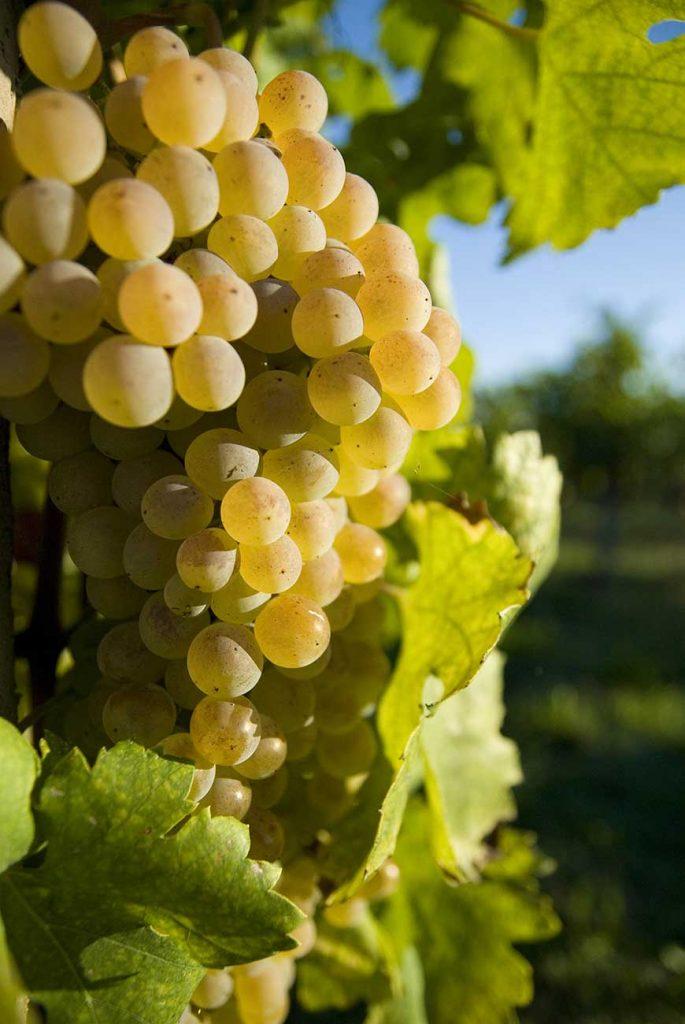 L'uva Cortese del Baccabianca di Cascina Grillo